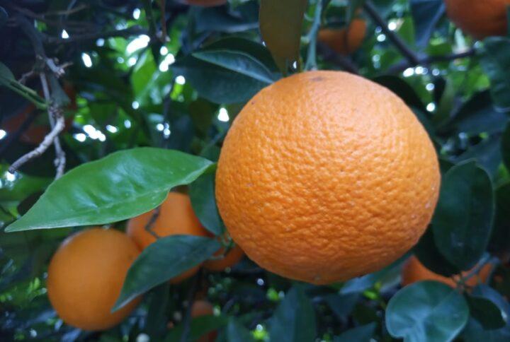 Le arance, gli agrumi energetici e antiossidanti per eccellenza