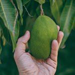 Il mango, valido aiuto naturale contro la ritenzione idrica